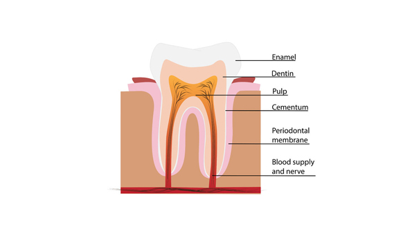 Anatomia dei denti: canini, incisivi, premolari e molari.