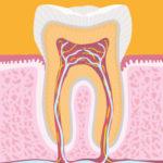 Com'è fatto un dente?